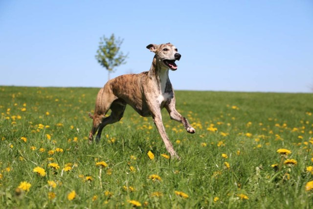 Whippet is one of the healthiest dog breeds