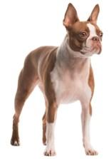 Teacup Boston Terrier