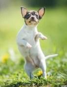 Teacup Fox Terrier