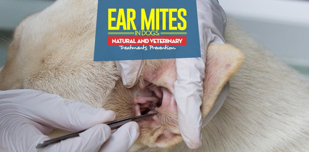 Best Treatments for Ear Mites in Dogs