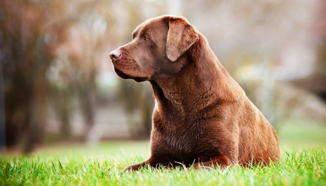 Dog Breeds Most at Risk for Osteoarthritis in dogs