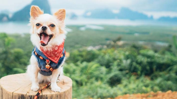 Science Finds Progress in Diagnosing Brain Disorder in Small Dogs