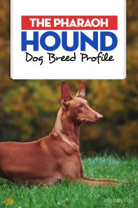 The Pharaoh Hound Dog Breed Profile