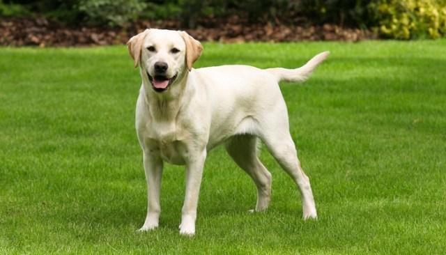 Dog Breeds Most at Risk for Hip Dysplasia