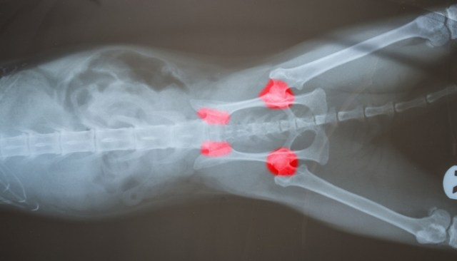 Treatment of Hip Dysplasia in Dogs