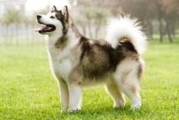 Dog Breeds at Risk for Hip Dysplasia