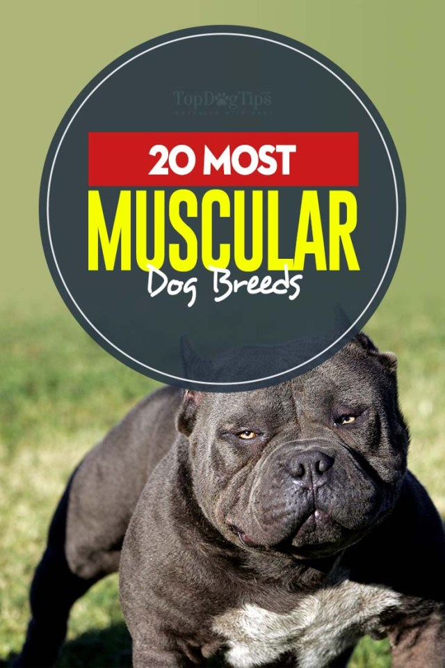 The 22 Most Muscular Dog Breeds