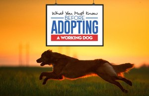 The Guide on Adopting a Working Dog