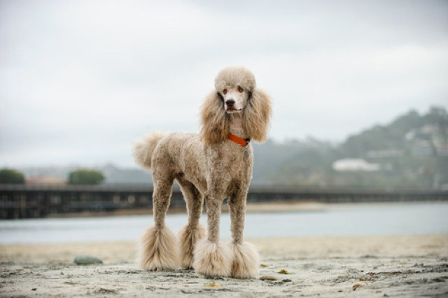 Standard Poodle as Worst Breeds for Guard Dogs