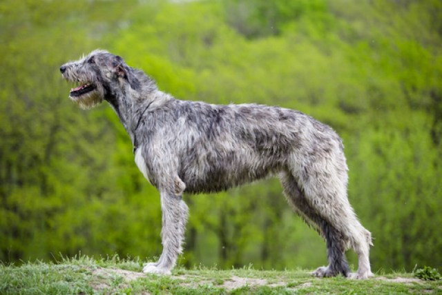 Irish Wolfhound as Worst Breeds for Guard Dogs