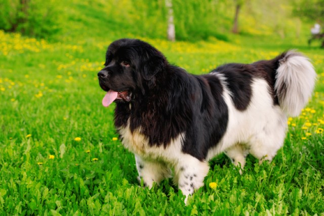 Newfoundland as Worst Breeds for Guard Dogs