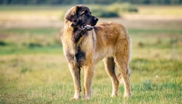 strongest dog breeds