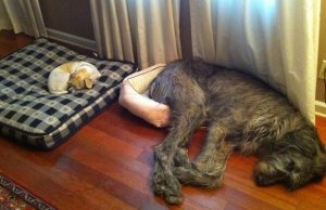 Cute Dogs That Are Unaware Of Their Size