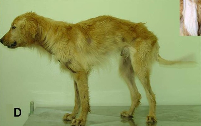 Science Finds Treatment for Duchenne Muscular Dystrophy in Dogs