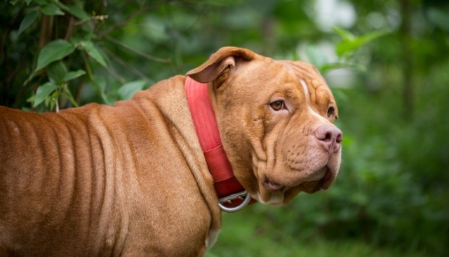 Manly Dog Breeds for Guys