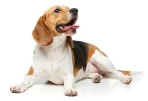 Beagle Manly Dog Breeds