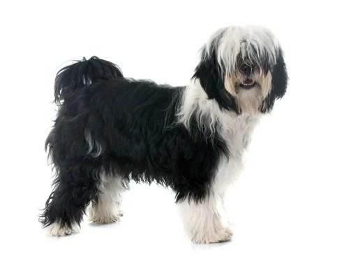 Tibetan Terrier Ancient Dog Breeds