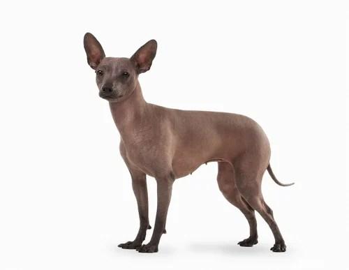 Xoloitzcuintli Ancient Dog Breeds