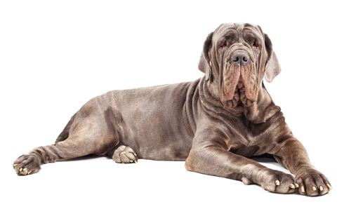 Mastiff Ancient Dog Breeds