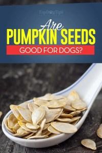 ¿Pueden los perros comer semillas de calabaza?