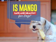 Can Our Dogs Eat Mango