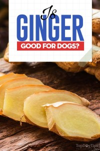 Is Ginger Good for Dogs