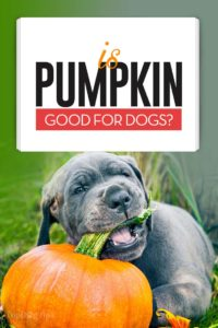Pumpkin for Dogs 101 - A Healthy Snack With No Side Effects