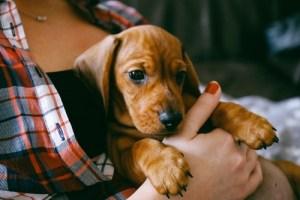 Where to Adopt A Redbone Coonhound Dog?