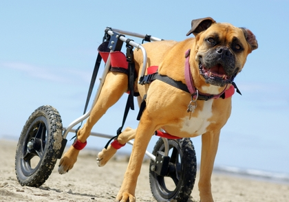 wheel chairs for dogs gavina wassily chair top 7 best dog wheelchair back legs to help with mobility 2017 what is the