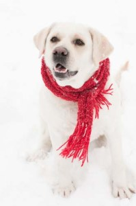 A dog in winter clothes
