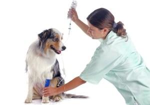 Canine Distemper Virus