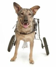 A dog in a wheelchair