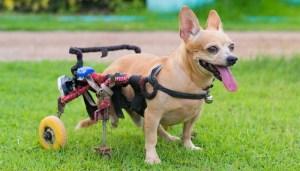 Fitting a dog into a DIY dog wheelchair