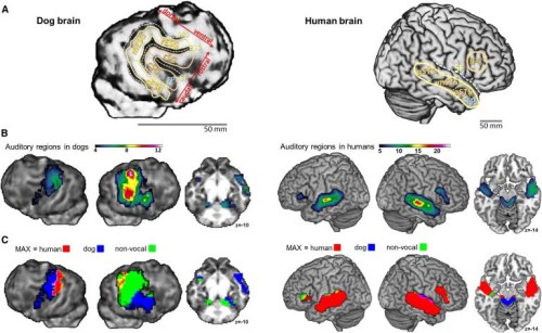 Dog Brain vs Human Brain