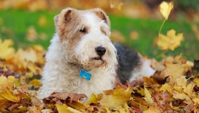 Fox Terrier - Farm Dog Breeds