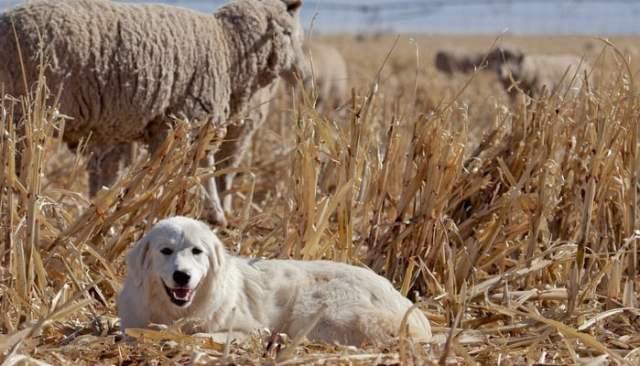 Great Pyrenees Farm Dog Breed