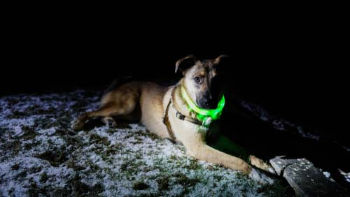 Use Fluorescent and Light-up Collars