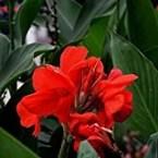 10 Seeds of Achira / Canna Cannaceae Edulis