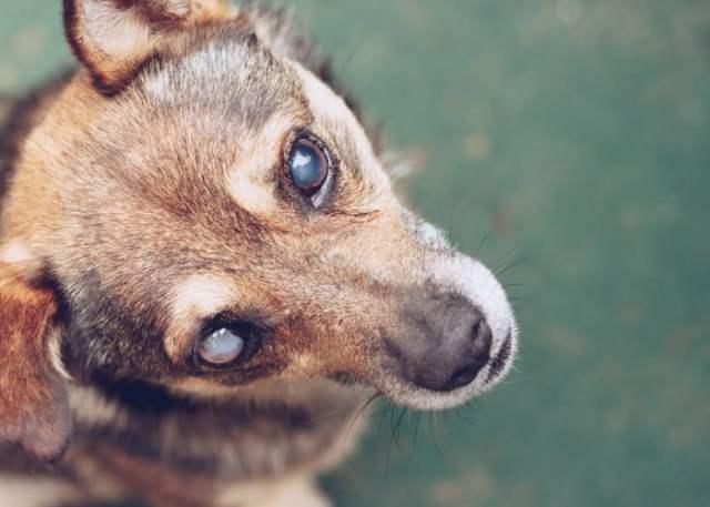 dog eye cataract