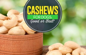 Can I give my dog cashews