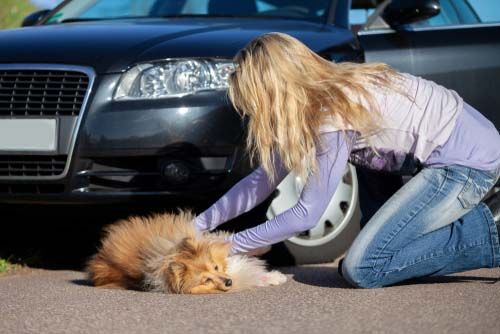 Dog Car Accidents