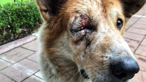 Dog with eye injury after a brawl
