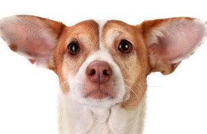 Dog Ears - Everything You Must Know About Your Canine's Ear