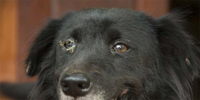 Dog with an infected eye