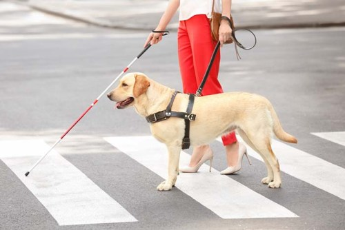 Labs Make the Best Guide Dogs