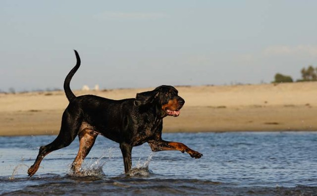 6. Black and Tan Coonhound