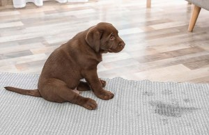 7 Reasons You're Failing at Housebreaking a Puppy (And How to Fix This)