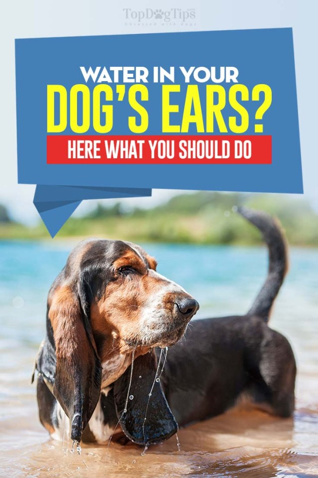 Guide on Water in Your Dog's Ears - Here's What to Do About It