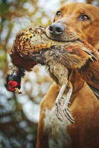 Austrian hunting dogs are statistically more likely to contract tularemia