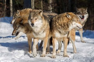 Cross Breeding of Dogs and Wolves